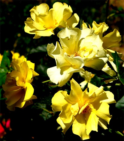 Simple to grow from cuttings: Rosa Golden shower | Photo by the writer