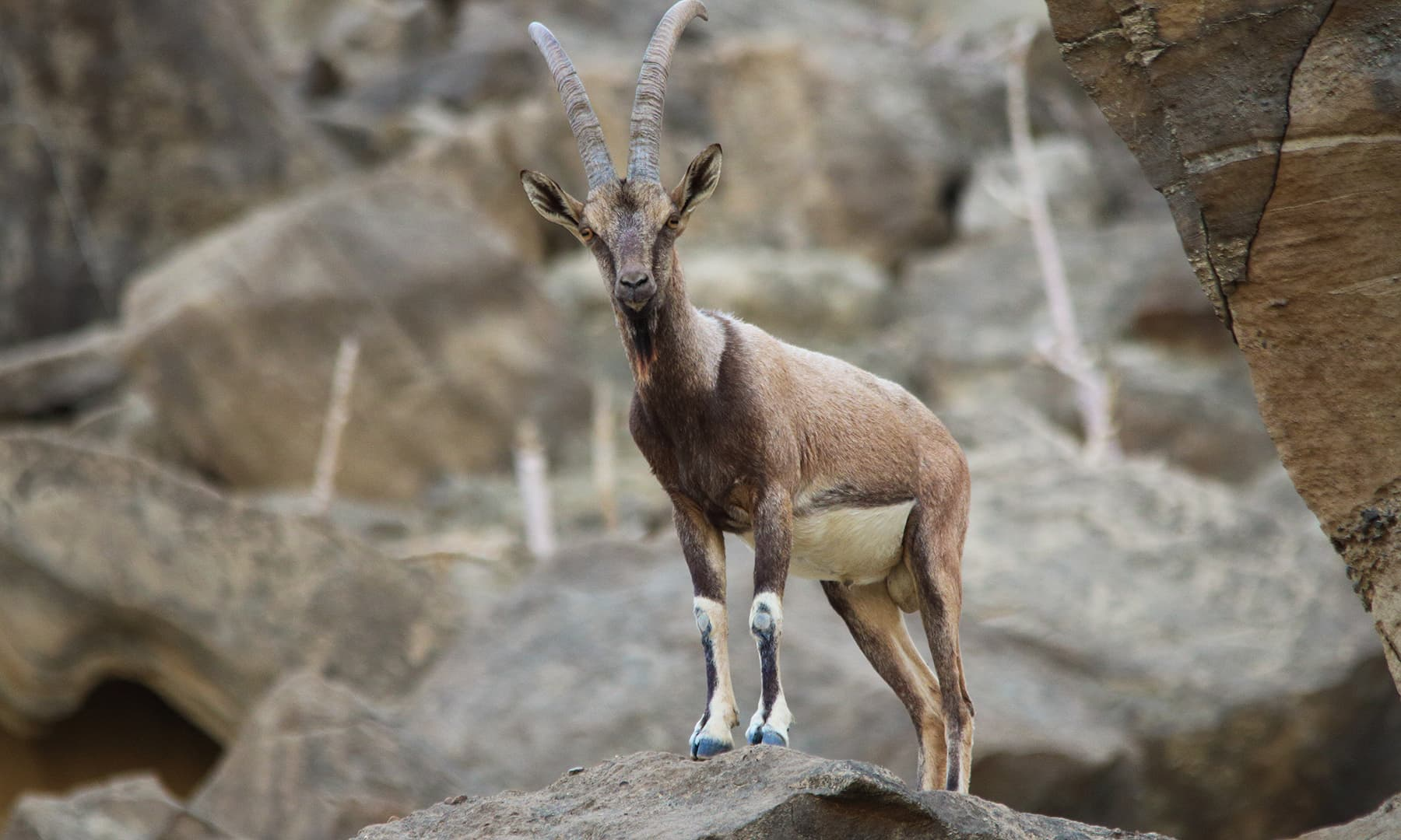 Ibex in Hingol National Park.