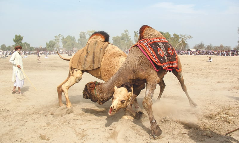 In this file photo taken on Feb 10, owners look at their camels during a traditional camel fight at an annual festival in Rajin Shah in Layyah district.—AFP