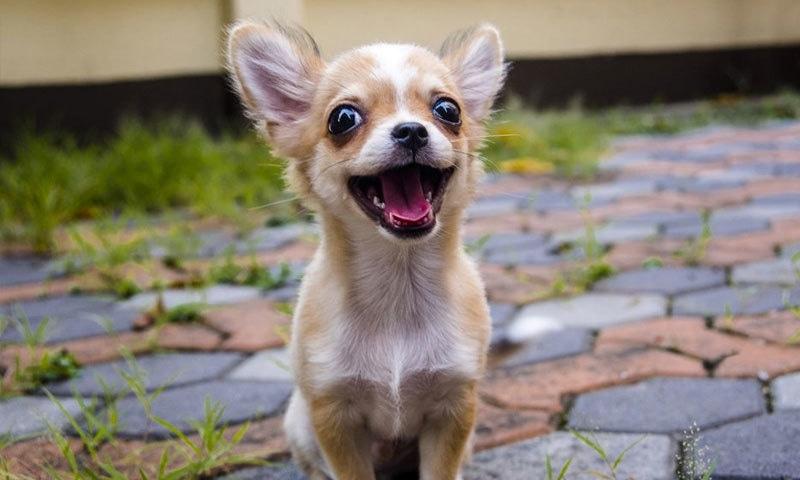 مسافر اوبر میں 8 ہفتوں کا کتے کا بچہ بھی بھول گئے تھے، کمپنی—فوٹو: شٹر اسٹاک