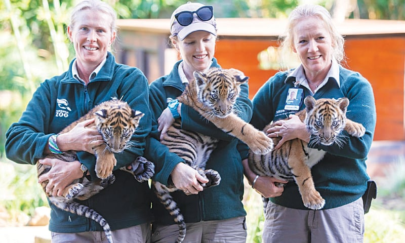 SYDNEY: Zookeepers pose with three Sumatran tiger cubs at this city's zoo on Friday. —Reuters