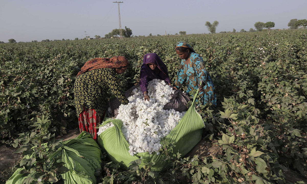 Women cotton pickers unload cotton blooms plucked from plants to make a bundle in a field in Meeran Pur village, north of Karachi September 25, 2014. Women make up the bulk of Pakistan's half a million cotton producers, but labour rights activists say they are often exploited by overseers, who often withhold their wages and may subject some of them to sexual harassment. Many women work in Pakistan's cotton fields for less than $2 a day. Last year, a group of around 40 women decided their low wages could no longer c