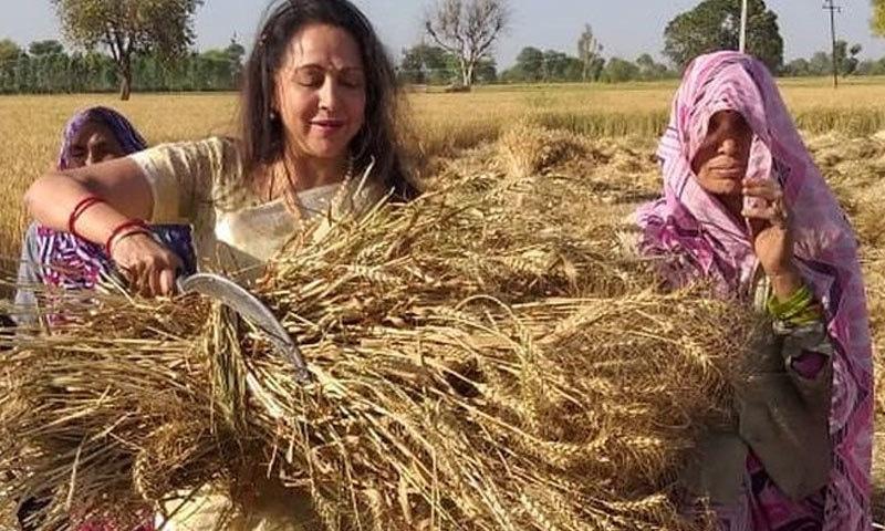 اداکارہ و رکن اسمبلی نے گندم کے فصل کی کٹائی بھی کی—فوٹو: ٹوئٹر