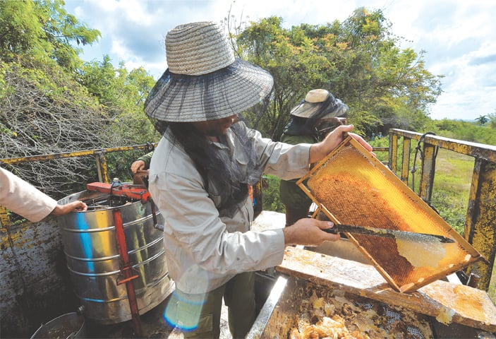 NAVAJAS (Cuba): A beekeeper collects honeycombs from a frame at an apiary.—AFP