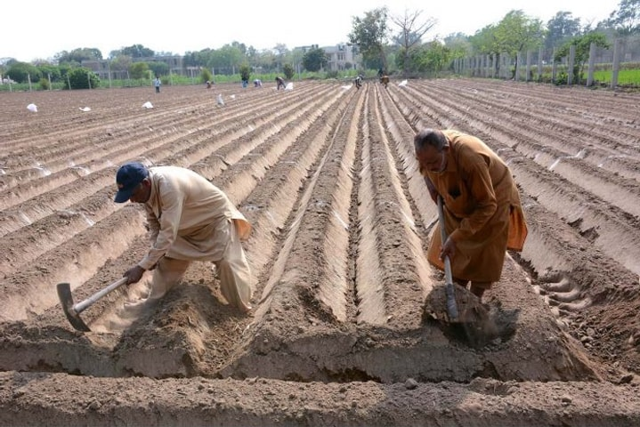 Farmers prepare a field for cultivation of hybrid seeds of maize at a farm in Faisalabad on April 1. Maize production at country level for kharif 2018 was reported at 5.521 million tonnes.—APP