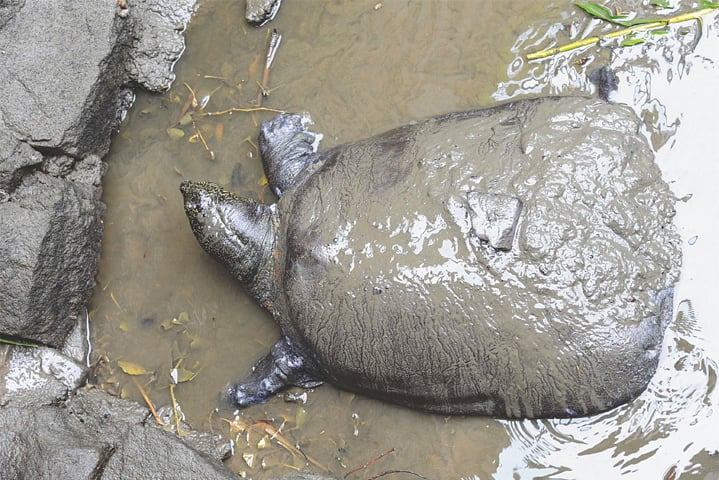 This May 6, 2015, file photo shows a female Yangtze giant softshell turtle at a zoo in China's eastern Jiangsu province.—AFP
