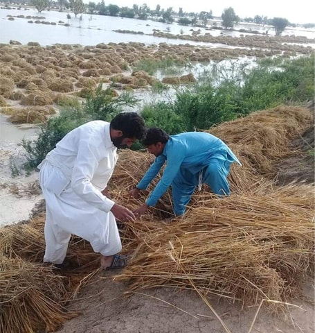 Jampur: Farmers are salvaging stacks of wheat from a submerged field on Wednesday.