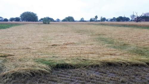 ![ A desi wheat variety called rodi is lying down near Chakwal after rain and windstorms.