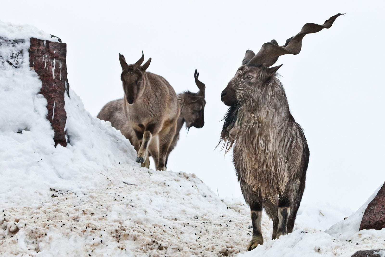 Unless there is a fresh survey to ascertain population of wild goats, more permits will not be granted, NA body told. — AFP/File