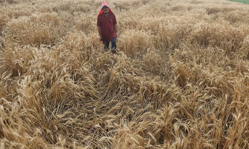 بارش سے گندم کی فصلیں متاثر ہوئی تھیں — فوٹو: اے ایف پی