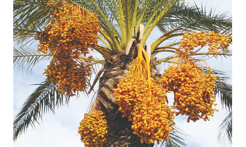 Date exports fall after Indian duties
