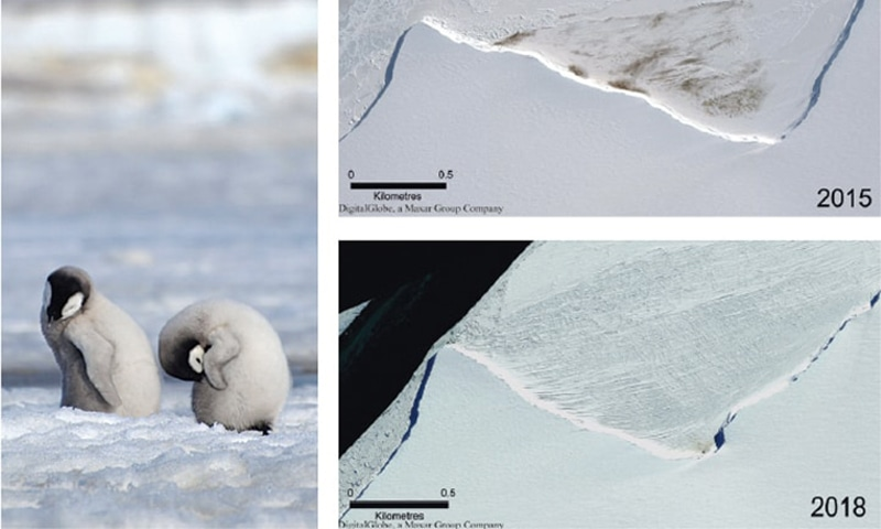 A 2010 photo provided by the British Antarctic Survey shows emperor penguin chicks (left) at Antarctica's Halley Bay. A combination of satellite photos (right) shows the site of the Halley Bay emperor penguin colony in 2015 and 2018. — AP