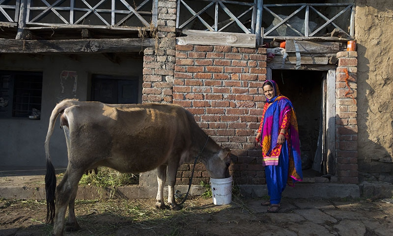 A Gaddi tribal woman Urmila Devi, 39, feeds her cow Rashi in Naddi village in Dharmsala, in the northern Indian state of Himachal Pradesh. Devi says she'll vote, but only because she believes it's her duty. — AP