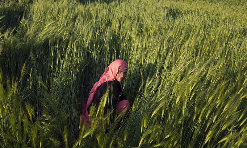 Nirmala Devi, 45, weeds her barley field in her village in Naddi, near Dharmsala. — AP