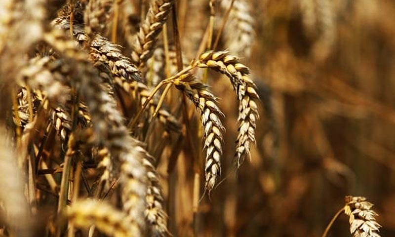 About 75 per cent of the country's wheat requirement is met by Punjab wheat crop. — AFP/File
