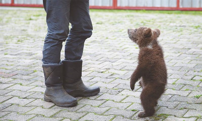 Sarajevo (Bosnia): Aida, the baby bear, snapped at a village near Sarajevo.—Reuters