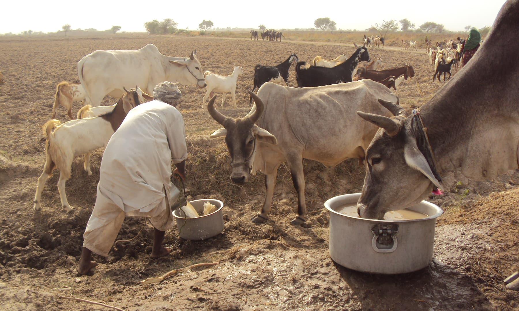 کنویں کی کھدائی کے بعد پانی مل جائے تو انسانوں اور مویشیوں کے لیے پینے کے پانی کا مسئلہ وقتی طور پر حل ہوجاتا ہے—ابوبکر شیخ