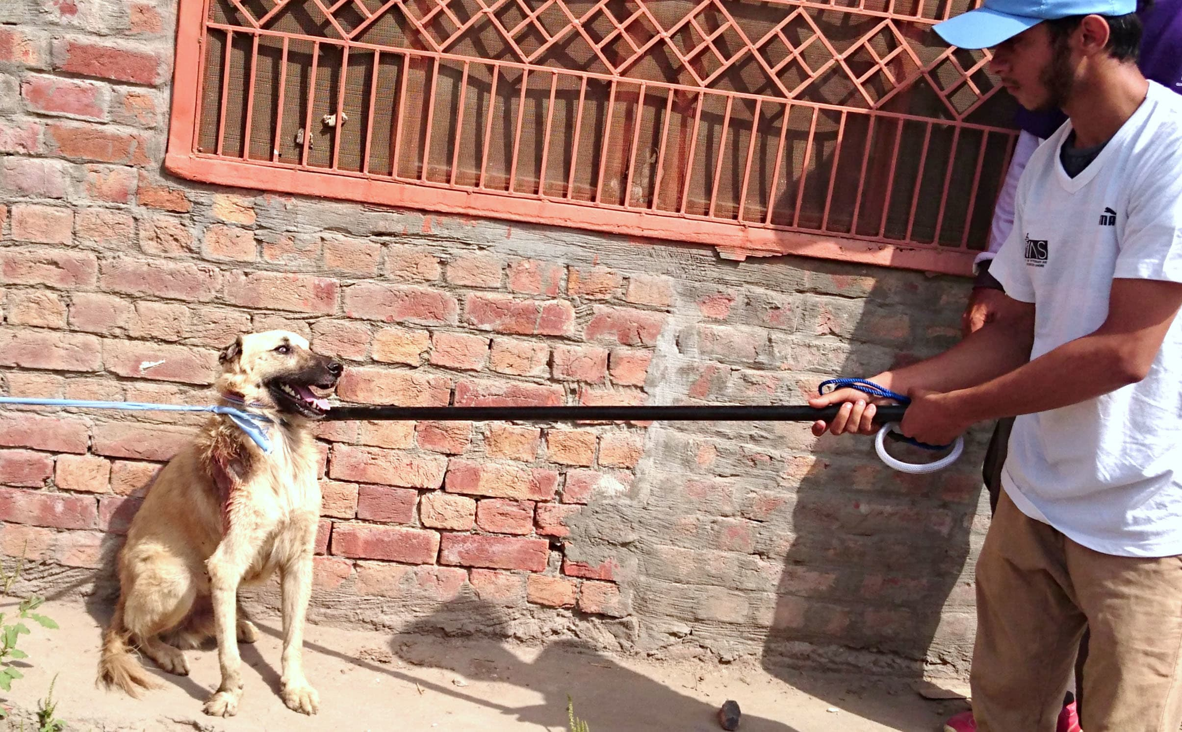 A stray dog is being handled by control pole for vaccination.—*Courtesy TIH*