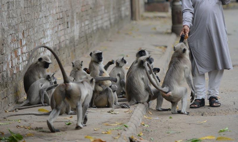 Heatstroke kills monkeys as India suffers in searing temperatures