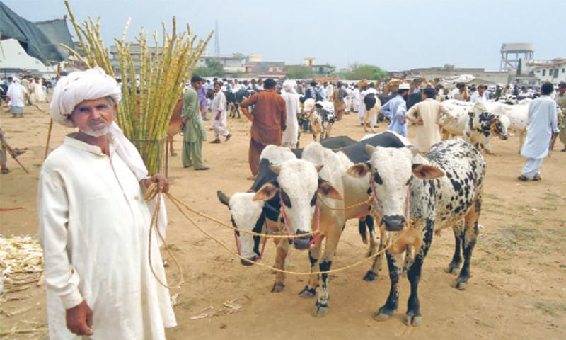 A vendor with his three calves in a cattle market in Chakwal.—File photo