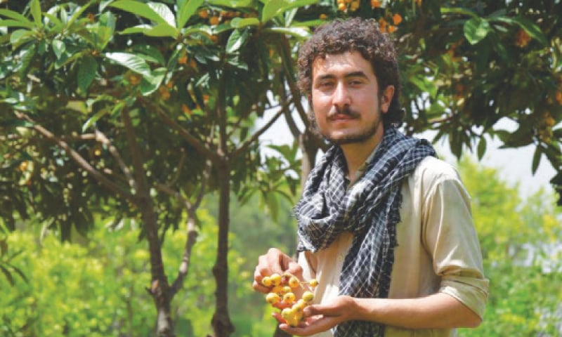 Fruit farmer Adil Khan holds ripened loquat harvested from his orchard in Mardan, KP.—Reuters