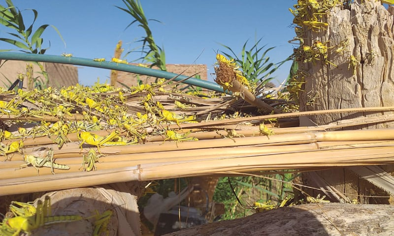 Locusts can be seen that have destroyed a tree in Killi Khan Jan area.—Photo by writer