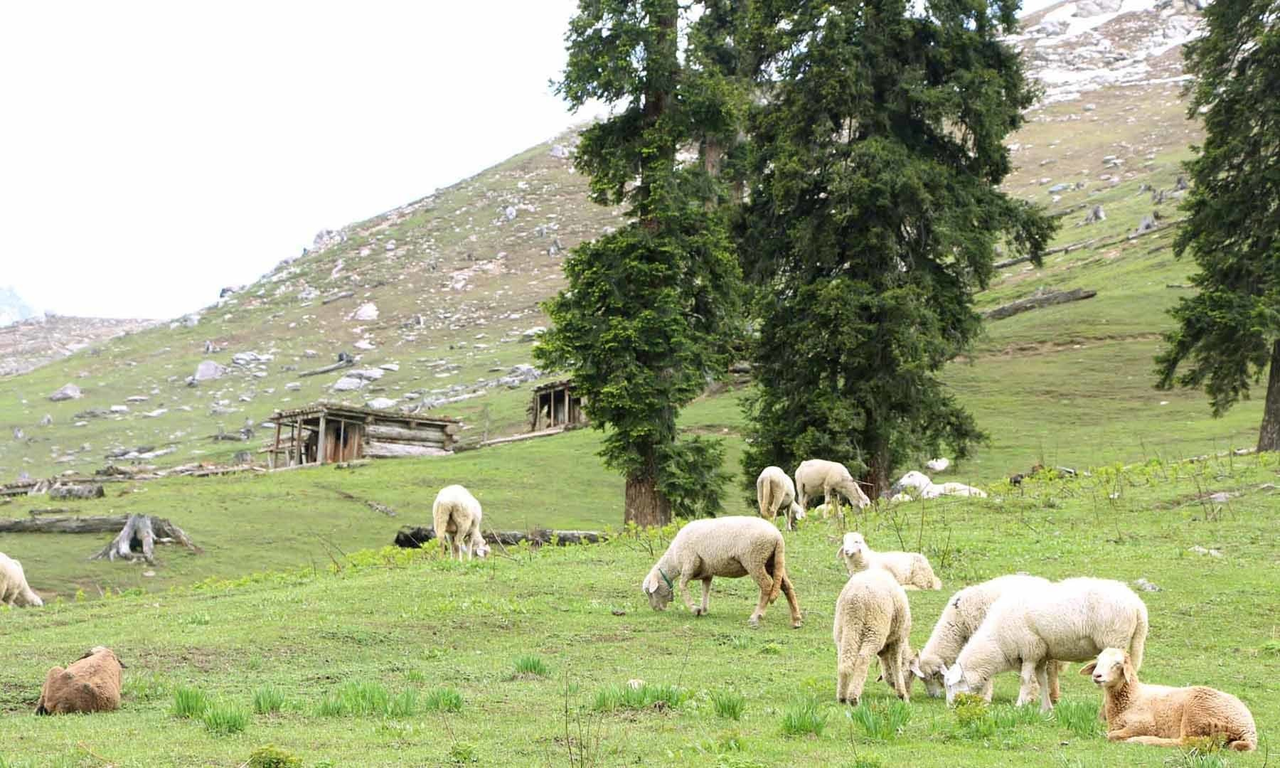 چینیٹی شی بانڈہ میں مال مویشی کے چرنے کا دلچسپ منظر—امجد علی سحابؔ