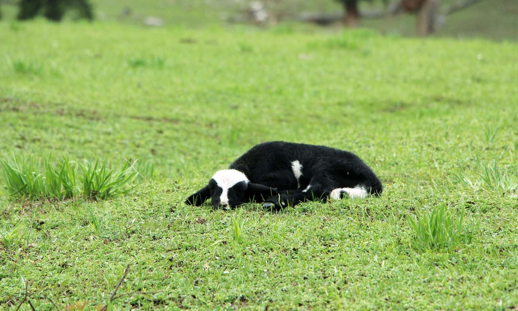 ایک برّہ، چینیٹی شی بانڈہ میں میٹھی نیند کے مزے لے رہا ہے—امجد علی سحابؔ