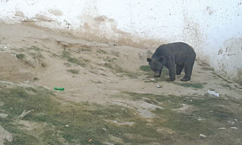 In photos shared on social media, the bears kept at Jallo Park could be seen lying around in pitiable condition. — Dawn