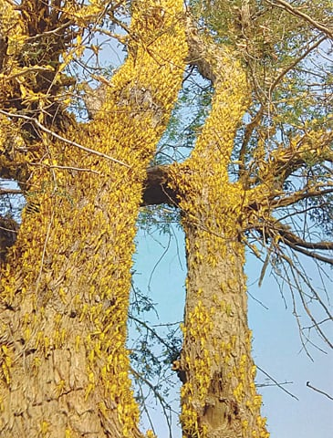 LOCUSTS feast on trees in Dasht.