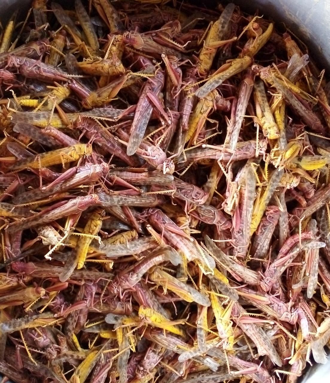 Locusts collected by a villager in a bucket.