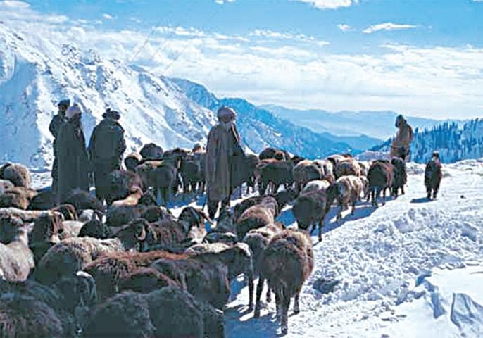 Cultures under threat: locals herding their flocks of sheep in Lowari Top | The Kalasha of the Hindu Kush by Maureen Lines