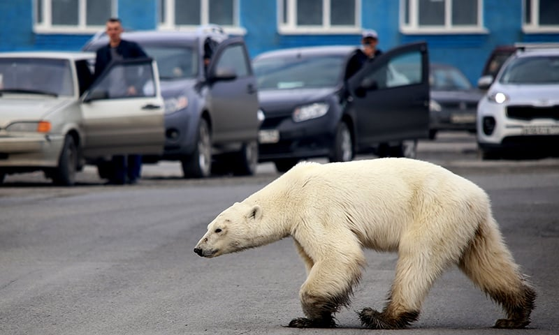 A wild polar bear walks on a road on the outskirts of the Russian industrial city of Norilsk on June 17. ─ AFP