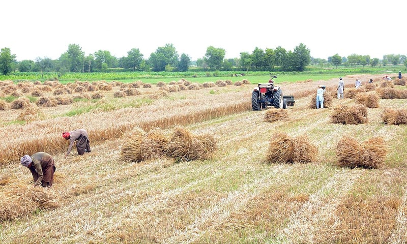 FAISALABAD: Farmers are seen harvesting wheat crop in the field.—APP
