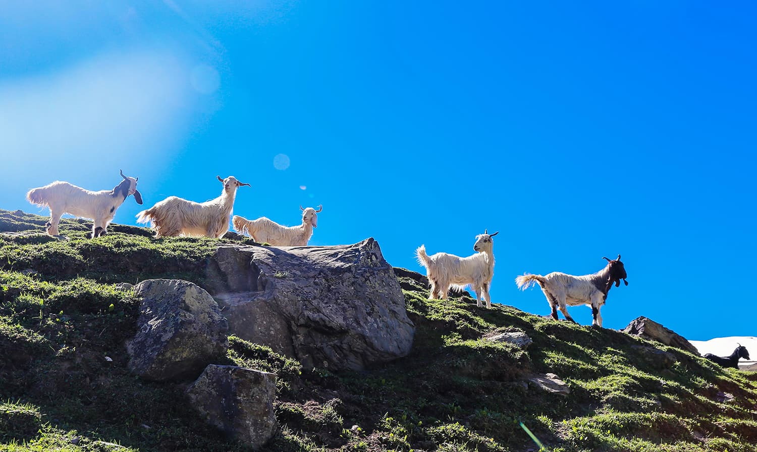 A group of goats stare down at trekkers in Kalam Banda. ─ Photo by author