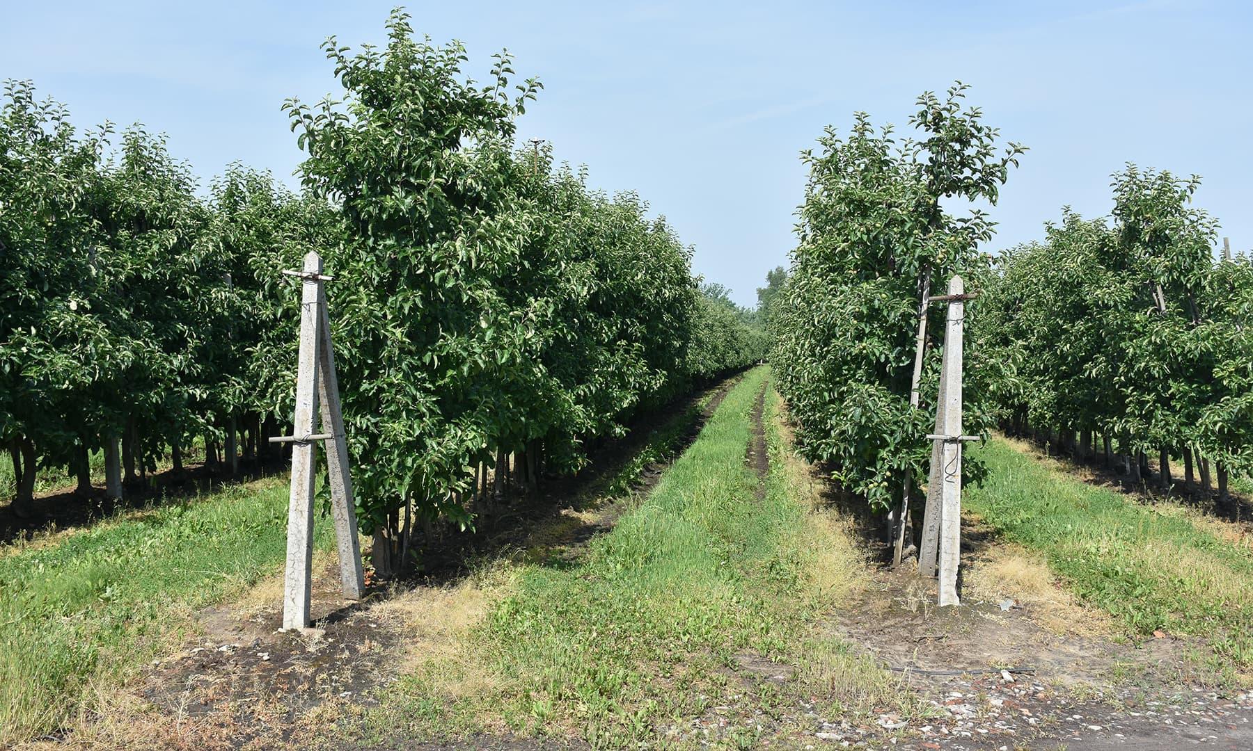 سیب کا باغ