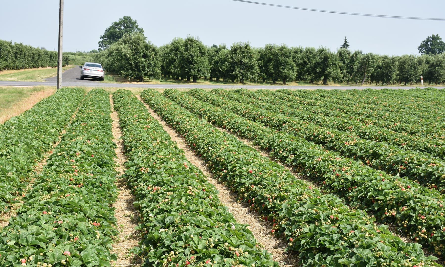 ایک طرف اسٹرابیری اور دوسری طرف سیب کا باغ