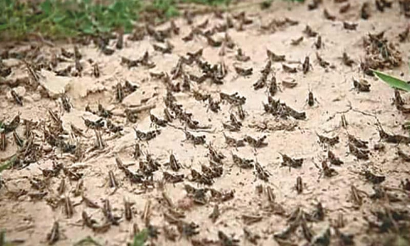 Swarms of locusts land on fields in Sindh after wreaking havoc in Balochistan
