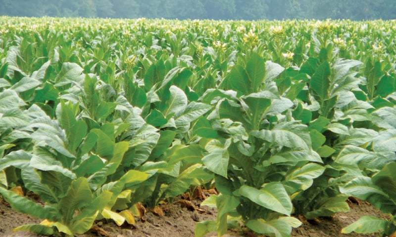 Tobacco growers welcome decision to abolish Rs300 tax on crop