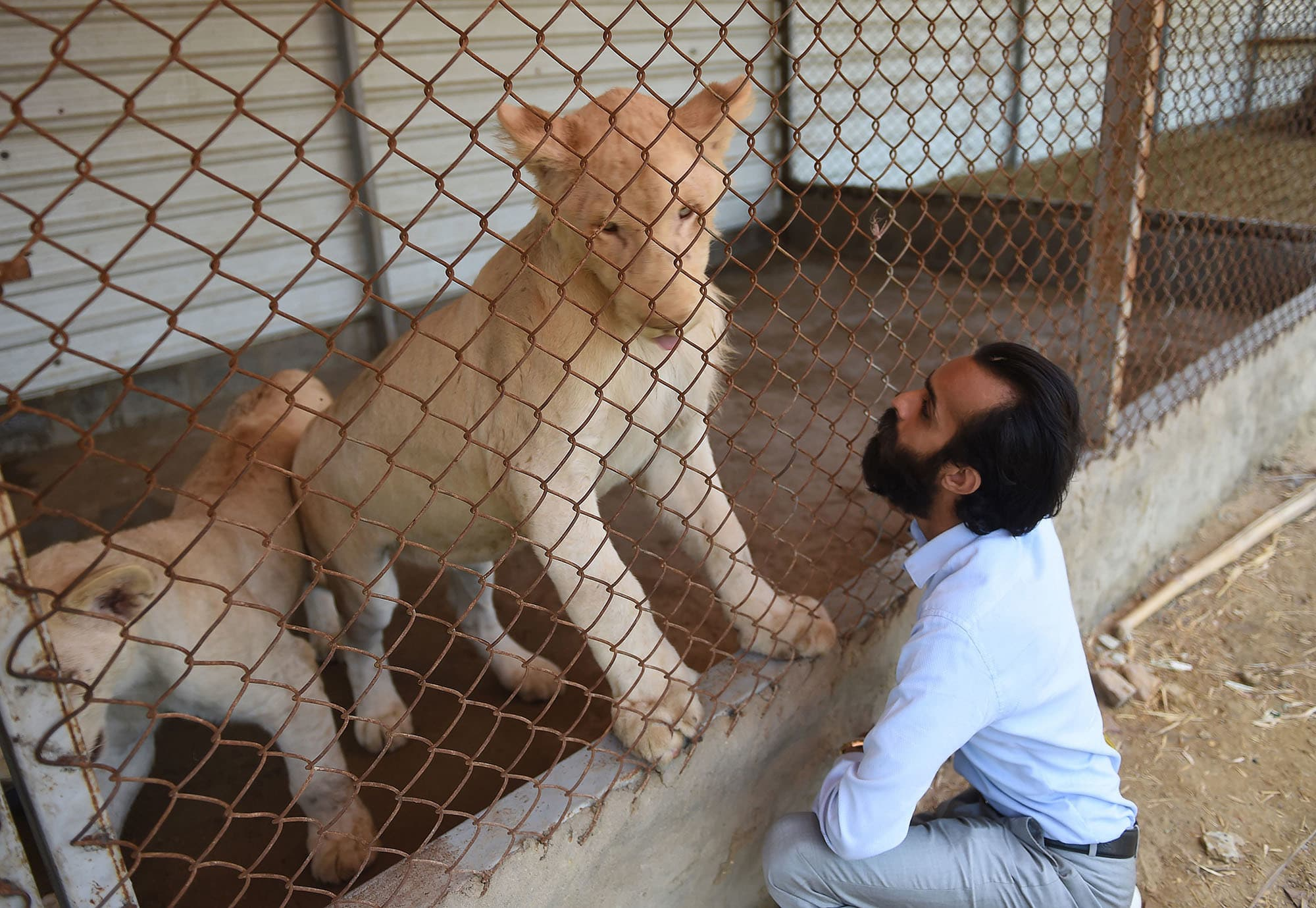 In this picture taken on May 20, Bilal Mansoor Khawaja, a private zoo owner, looks at his white lions in Karachi. — AFP