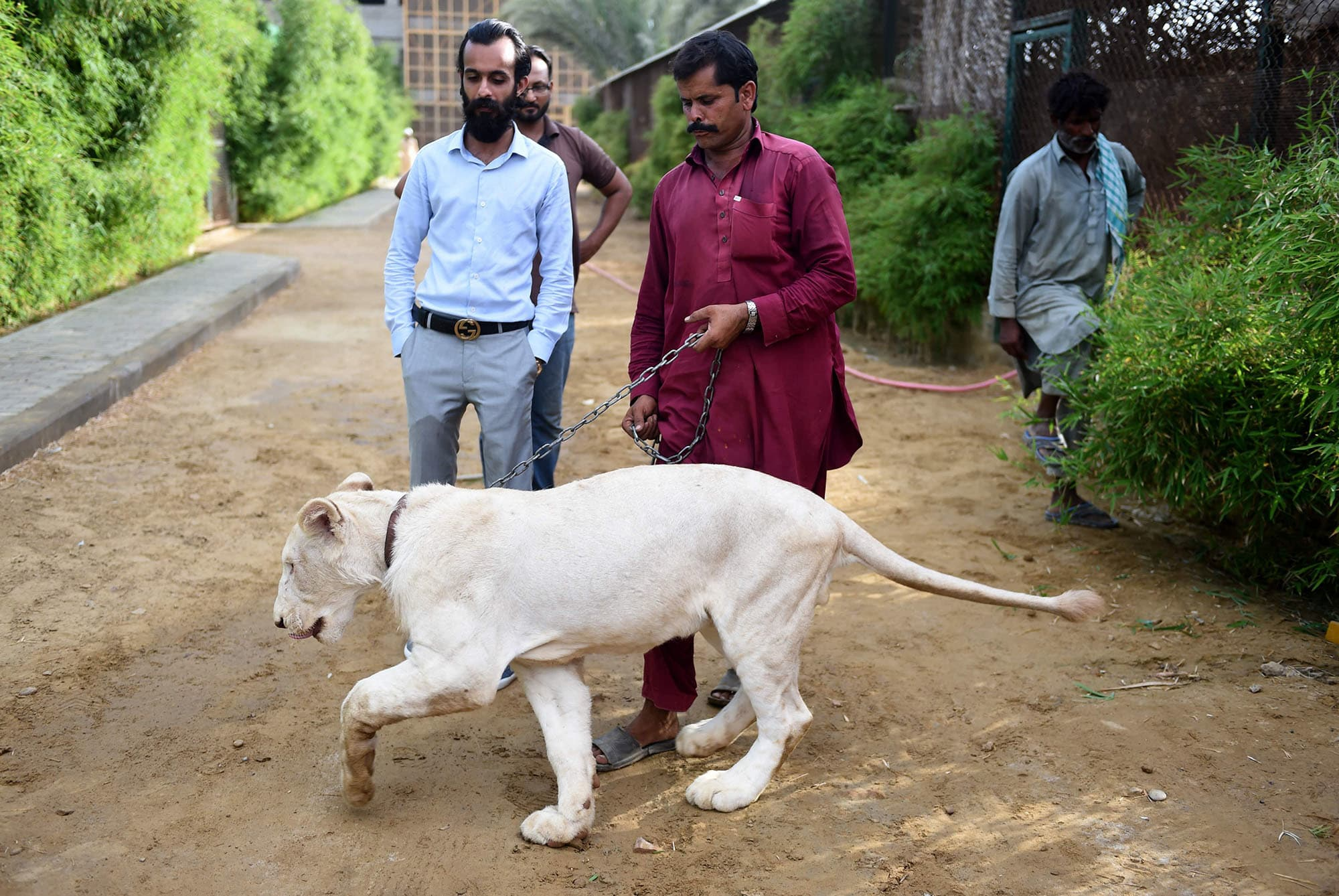 In this picture taken on May 20, Bilal Mansoor Khawaja (L), a private zoo owner, looks at his white lion in Karachi. — AFP