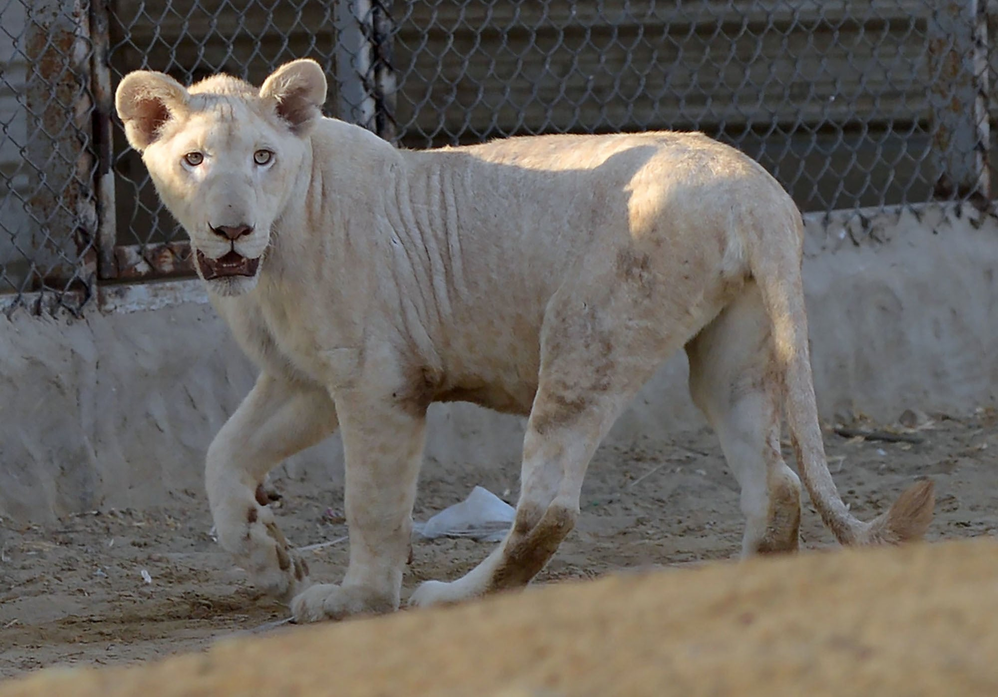 In this picture taken on May 20, a lioness walks in a cage at a private zoo in Karachi. — AFP