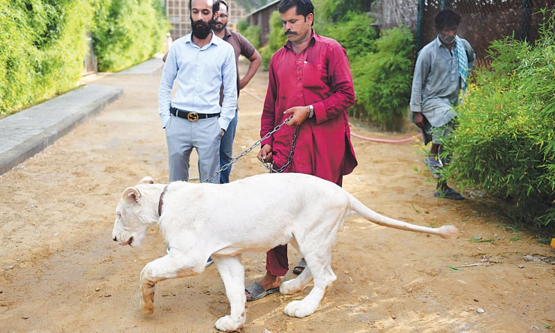 KARACHI: Bilal Mansoor Khawaja, a private zoo owner, looks at his white lion.—AFP