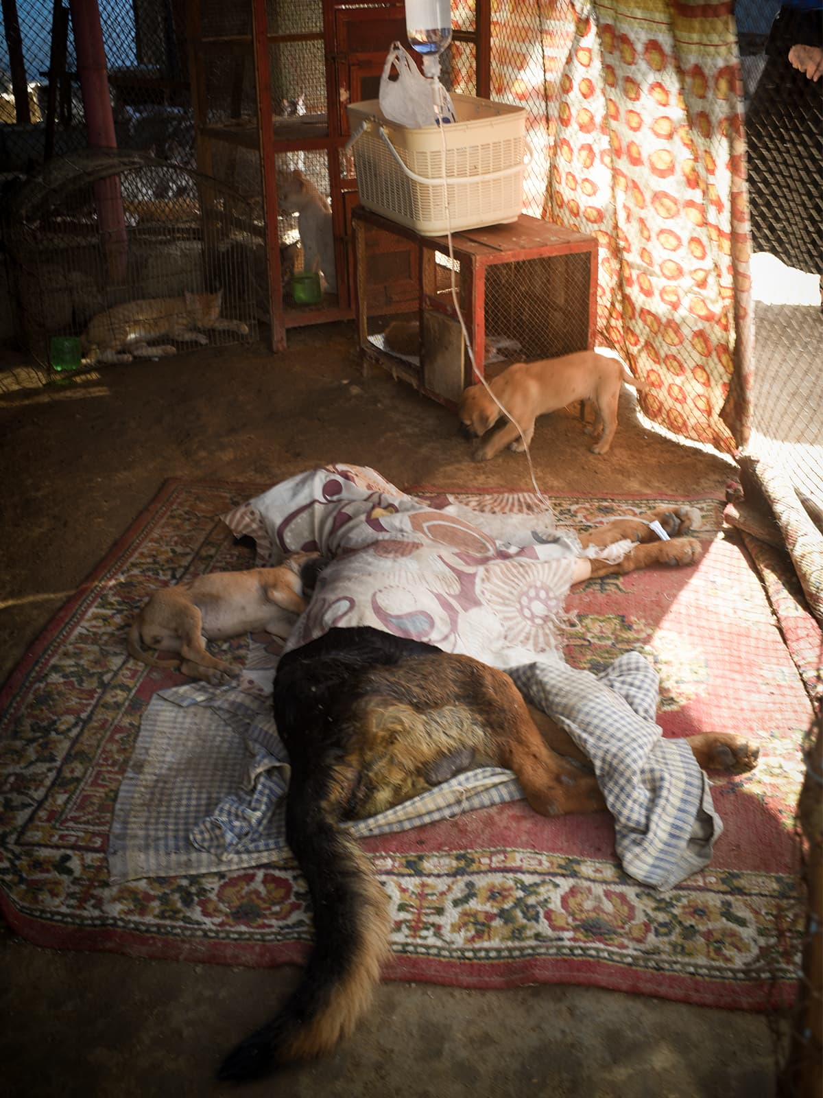 An injured dog lying near the entrace to a shelter