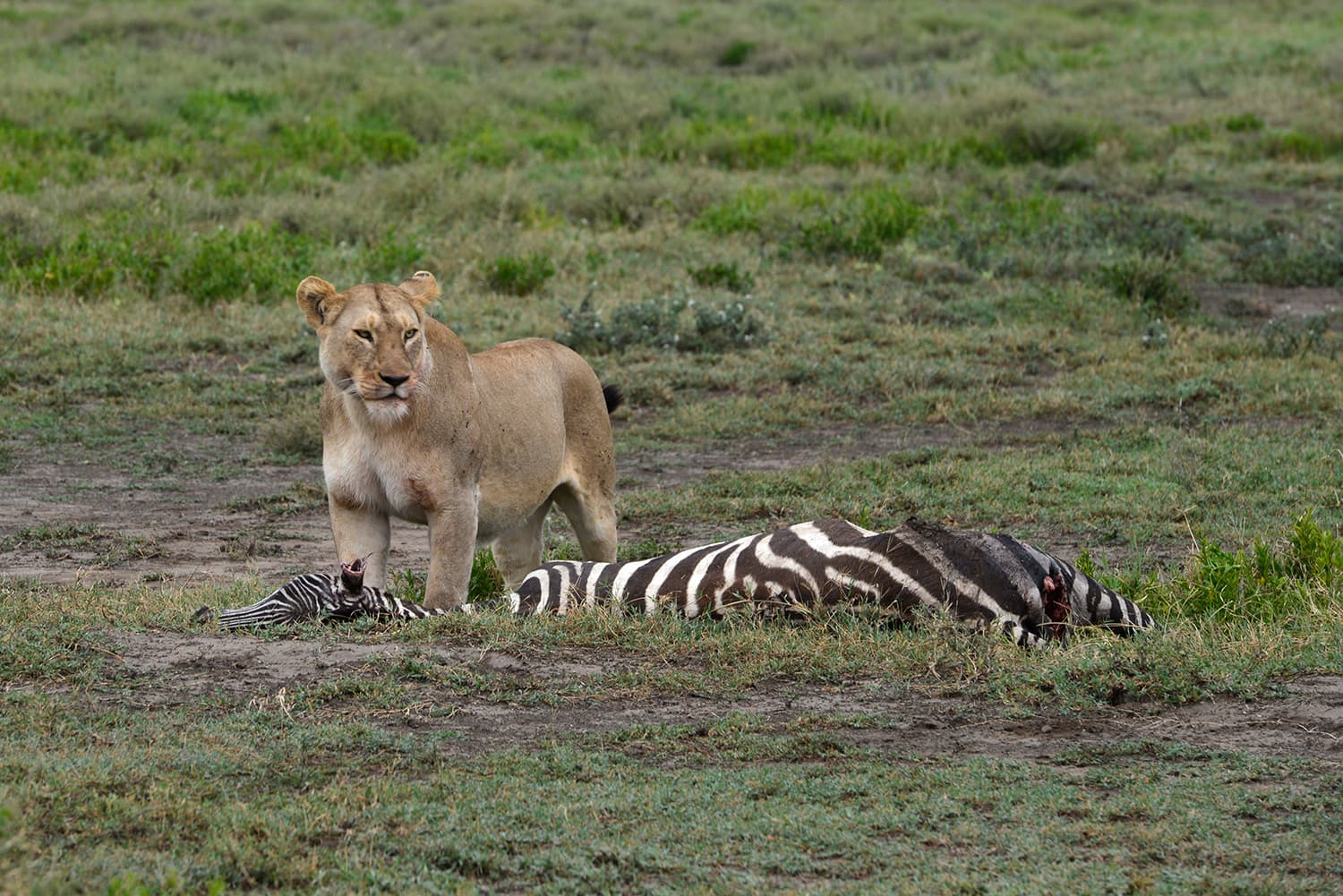 In the Serengeti National Park.