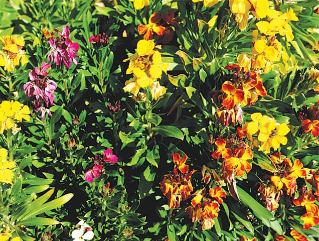 Sweetly perfumed wallflowers | Photos by the writer