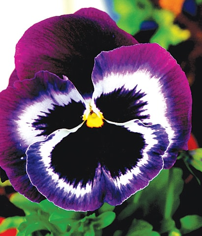 Herb of the month Pansy