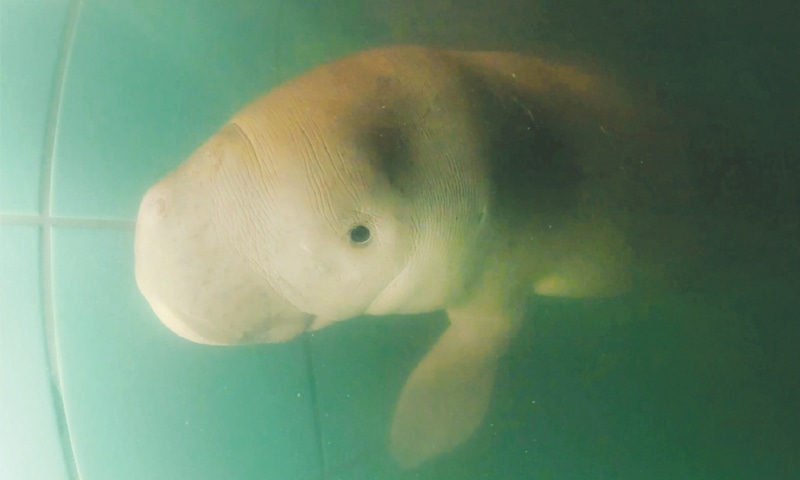 Baby dugong being cared for at the Phuket Marine Biological Centre.—AFP