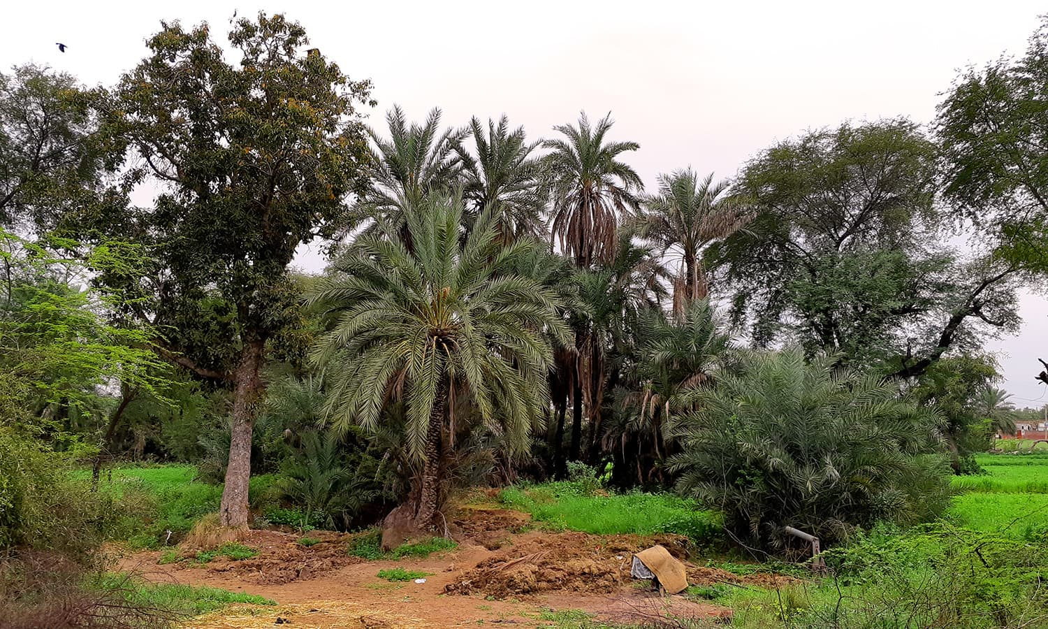 The palm grove and the well at Marhi of Bhera.