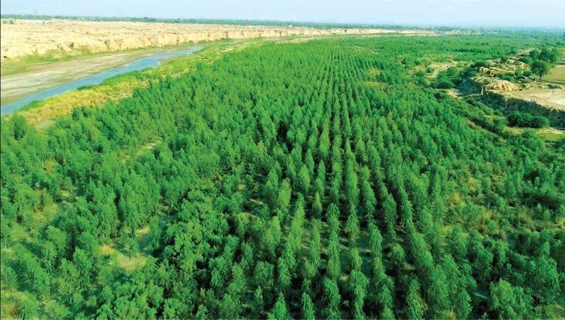 Eucalyptus trees planted in the water-logged area of Dera Ismail Khan. The other picture is of the pine saplings planted in Karak. — Courtesy KP forest department